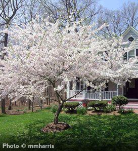 De Young Copper Bookmark Flowering Cherry Tree Yoshino Cherry Tree Flowering Trees