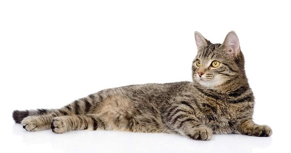 Tabby Cat Names Inspiration And Ideas For Naming Your Tabby Kitty Tabby Cat Names Grey Tabby Kittens Grey Tabby Cats