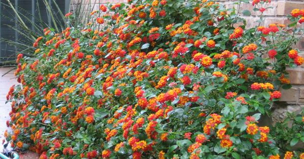 Texas Lantana Idea For Front Flowerbed Or Side Yard Backyard Plants Rustic Landscaping Front Yard Xeriscape