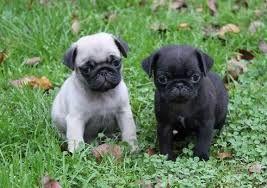 Résultat De Recherche D Images Pour Bébé Carlin Pug Lover Pugs Bulldog