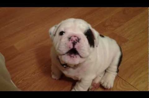 Bentley the Bulldog Puppy... I most definitely just fell in love. My