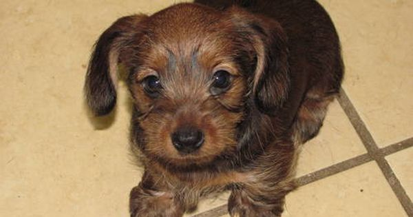 Dorkie puppy! Cute, but must change the name. Daschund and Yorkie mix.