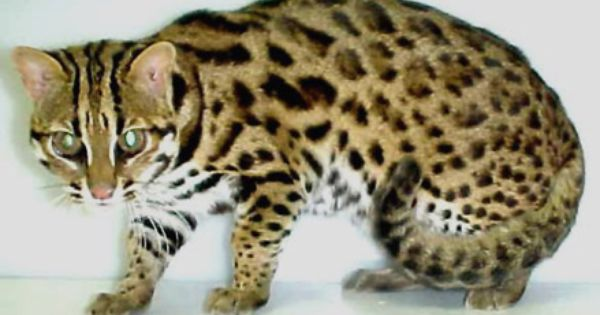 Asian Leopard Cats Are True Wild Felines That Live In Various Forest And Jungle Habitats Throughout India And Eas Asian Leopard Cat Small Wild Cats Leopard Cat