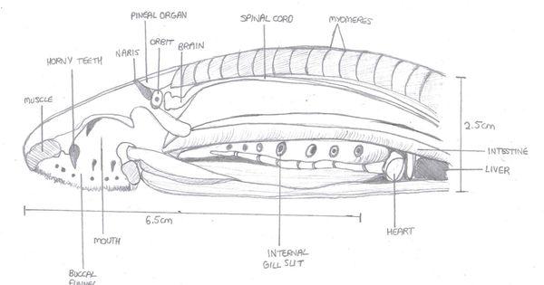 Lamprey anatomical Diagram (lateral view) | Zoology - Vertebrate ...