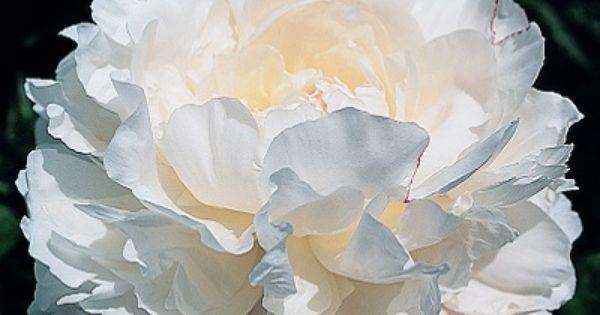 Peony Norma Volz Pansies Flowers Peonies Garden Beautiful Flowers