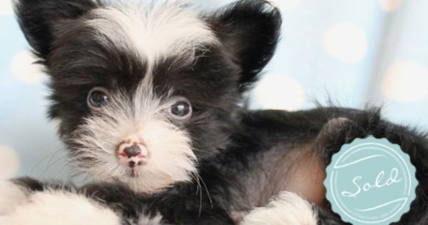 Chinese Crested Puppies For Sale In South Florida Cute Fluffy Puppies Chinese Crested Puppy Really Cute Puppies