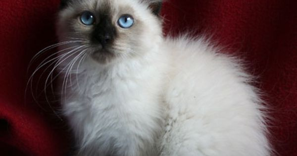 hypoallergenic cats for adoption siberian kittens sale