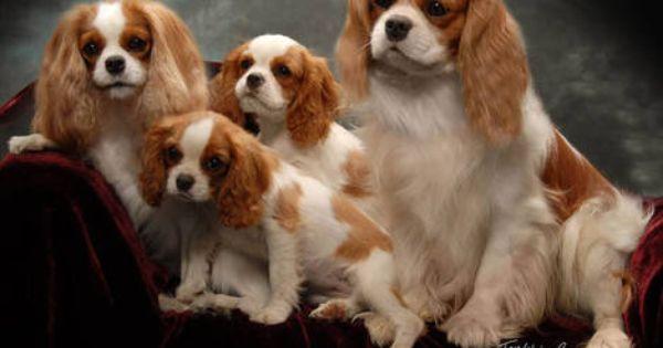 5 Year Health Warrantee Akc Breeder Of Merit Akc Founding Partner King Charles Dog Cavalier King Charles Spaniel Tricolor Cocker Spaniel Puppies King Charles