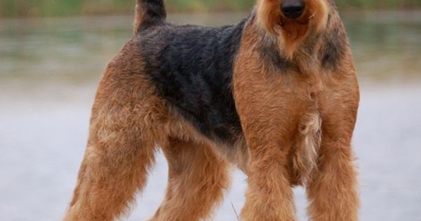 airedale terrier  Dogs  Pinterest  Airedale terrier, Terriers and Search