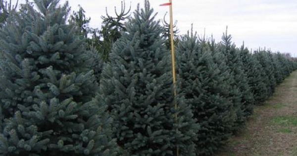 Picea Pungens Bakeri Deer Resistant Bakeri Blue Spruce