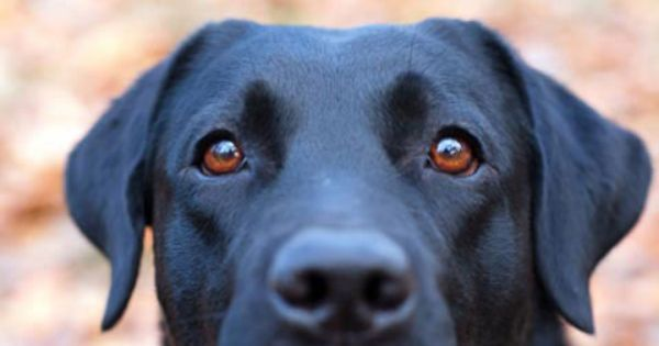 Petplan Pet Insurance Clears Up The Confusion On Cataracts Elderly Dog Care Pet Insurance Reviews Pet Insurance For Dogs