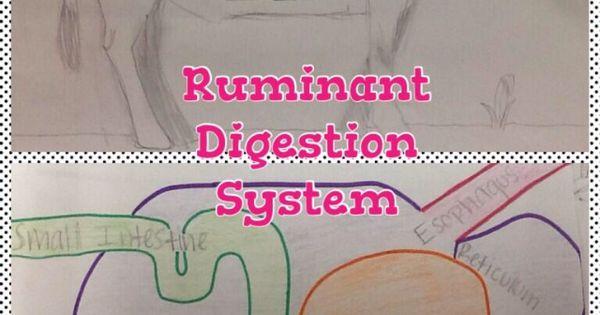 Ruminant Digestive System Activity