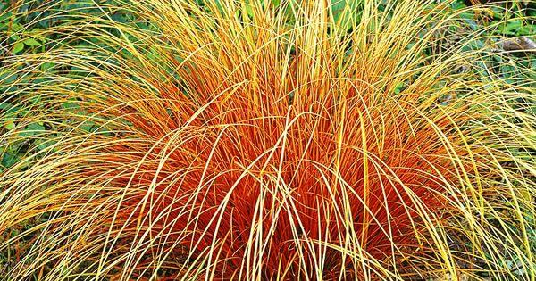Carex Bronze Reflection | Möbelideen