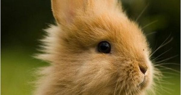 صور ارانب جميلة احلي صور ارانب كيوت خلفيات ارانب رائعة موقع حصري Rabbit Pictures Pet Bunny Cute Bunny