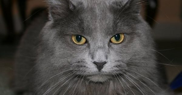 Intense Yellow Green Eyes Of A Beautiful Nebelung Grey Cat