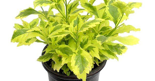 Planta duranta gold 6 riego macetas y plantas for Jardineros a domicilio bogota