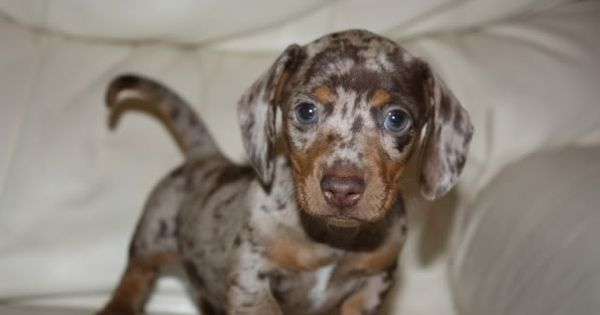 Mini Chocolate Dapple Dachshund Puppies For Sale Zoe