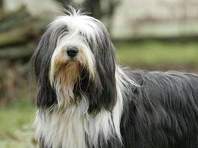 Bearded Collie Price Temperament Life Span Bearded Collie