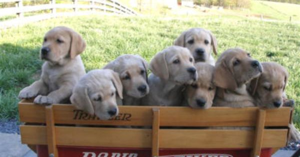 Shadyside Labradors And Bachman Mill Labradors Mt Airy