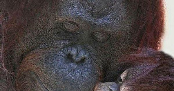 because I love you :) mother, baby, orang utan