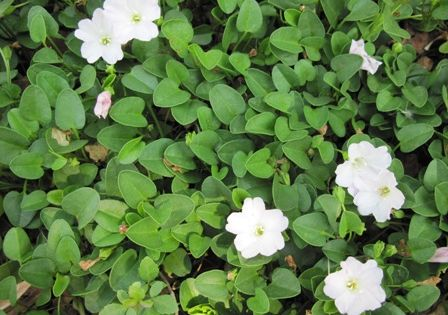 Like Falkia Repens Ground Cover An Extremely Low