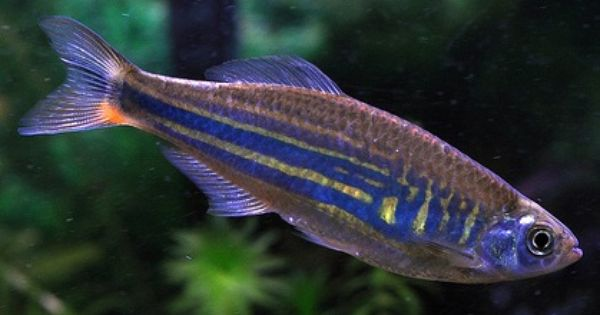 Giant danio 4 come in yellow or blue peaceful jumper for Peaceful freshwater fish