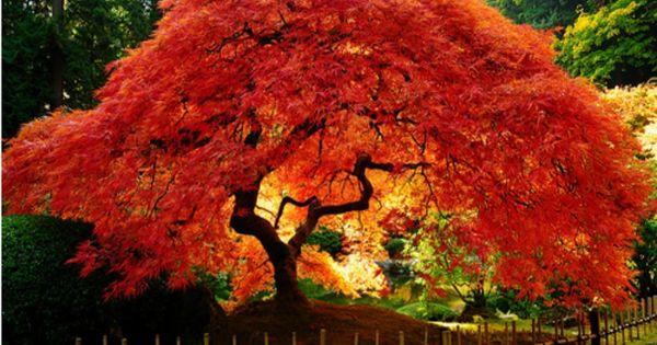 Rboles de colores y jard n japones b squeda acer for Arboles jardin japones