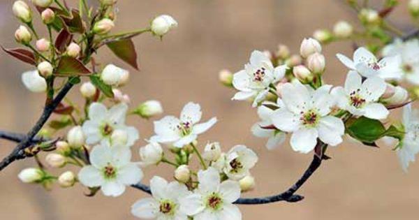 14 Spots For Spring Flowers In Beijing Pear Blossom Blossom Friendship Flowers