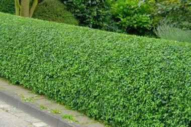 Troène arbuste Ligustrum vulgare Hardy, rapide, topiaire, Hedge graines