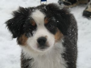 Miniature Australian Shepherd Puppies In Wisconsin Miniature Australian Shepherd Puppies Miniature Australian Shepherd Australian Shepherd Puppies