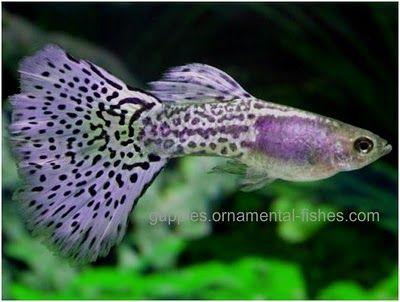 Fancy tail guppies ornamental fancy guppies overview for Fancy guppy fish