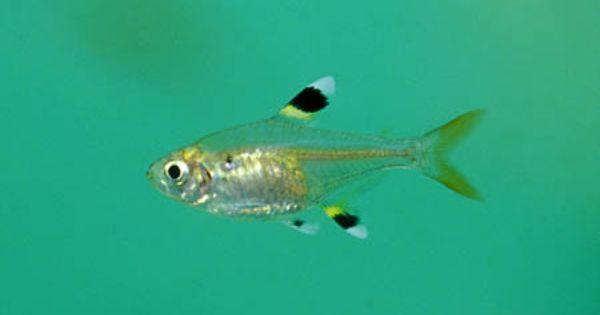 Pristella Maxillaris X Ray Tetra Community Fish Tank Tropical Fish Aquarium Fish