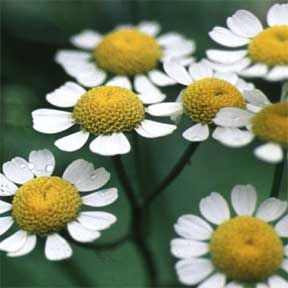 Feverfew For Headaches And Arthritis Bees Avoid It Plant It Separately From The Garden Feverfew Plant Feverfew Plants