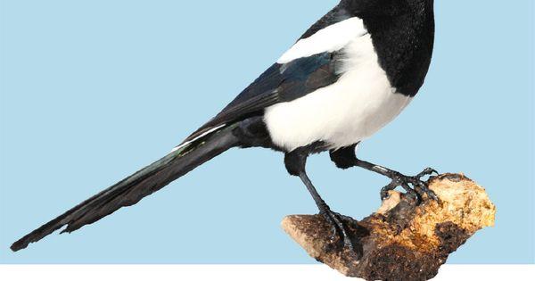 Die Elster Vogel Im Garten Vogel Als Haustiere Vogelkunde