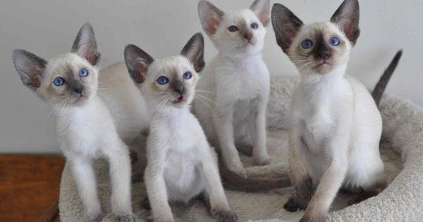 Siamese Kittens Cfa Oriental Siamese Cats In Illinois Siamese Cats Siamese Cats Funny Siamese Kittens