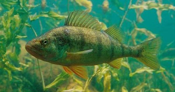 The yellow perch perca flavescens commonly referred to for Lake erie perch fishing hot spots