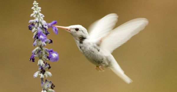 rare Albino Hummingbird spotted in Kansas City area. Less than 5 confirmed
