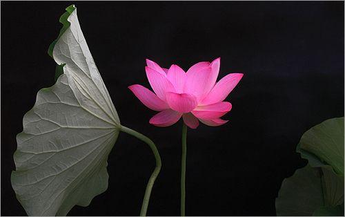 Lotus Flower Img 8632 زهرة اللوتس ハスの花 莲花 گل لوتوس Fleur De Lotus Lotosblume क द 연꽃 Lotus Flower Lotus Flower Images Flowers