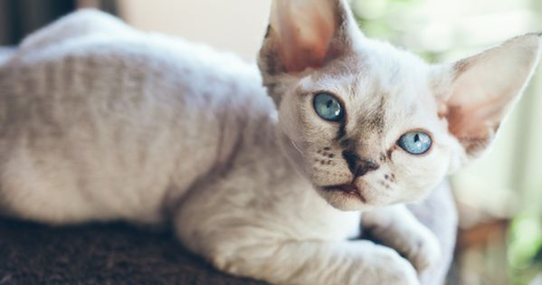 How To Treat Ringworm In Cats Ringworm In Cats Devon Rex Cats
