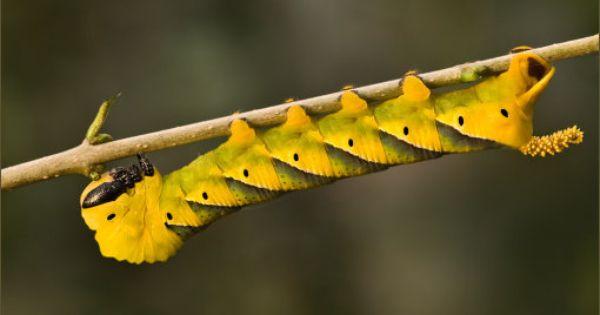 Totenkopfschwarmer Mit Bildern Taubenschwanzchen Insekten Raupe