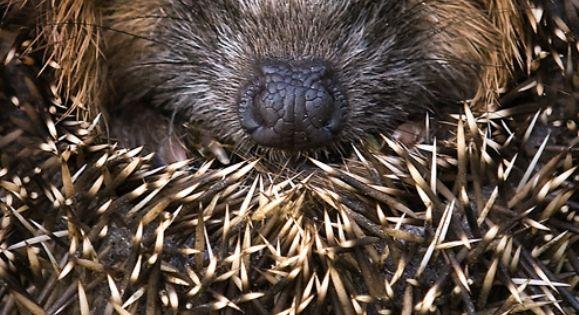 Hedgehog- RSPB Give Nature a Home!