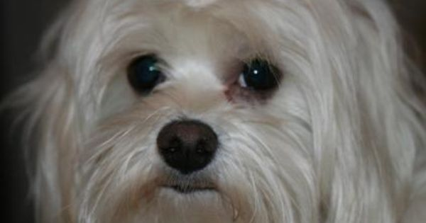 How To Remove Brown Stains Around Dog S Mouth Dog Tear Stains