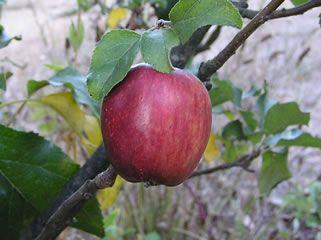 Heirloom Fruit Trees For Home Farm Trees Of Antiquity Rooted Organic Apple Tree Apple Fruit Tree Nursery