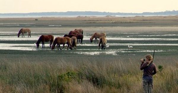 Wild Horses grazing near Beaufort, NC