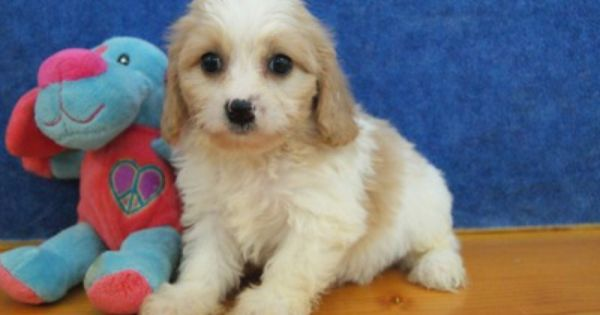 Chilton Wi Usa Adorable Cavachon Puppies Cavachon Puppies Cavachon Puppies