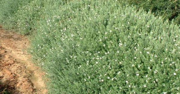 Westringia fruticosa westringia ligneux romarin d for Arbuste exterieur