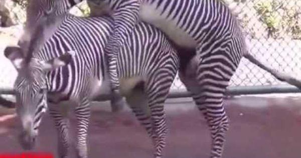 Zebra Mating, Horse Mating - Funny Horses Mating ...