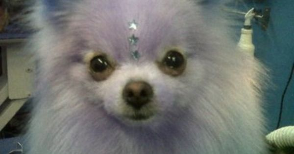 Lilac Pomeranian Cat And Dog Memes Pomeranian Dog Dog Memes