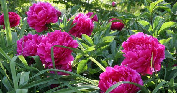 p onien richtig pflanzen dream garden gardens and. Black Bedroom Furniture Sets. Home Design Ideas