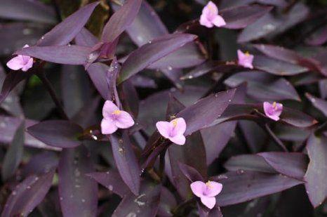 Setcreasea Pallida Or Purple Heart Succulent Purple Leaves